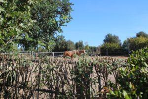 Sardinia horses